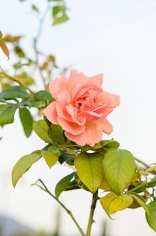 Rozen bloem