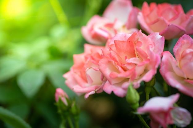 Rozen in de tuin, rozen zijn mooi met een mooie zonnige dag.