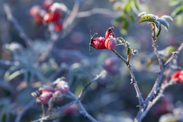 Rozenbottelbladeren en bessen met rijm. een wilde rozenstruik met vorst op donkere achtergrond. eerste vorst in de herfst. rijp op dogrose takken.