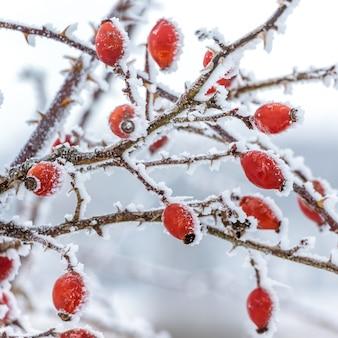 Rozenbottels bedekt met vorst in de struiken in de winter