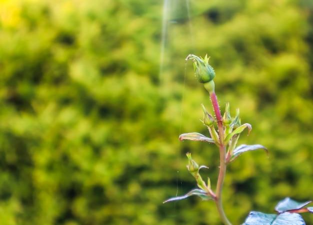 Rozenknoppen met spinnenweb verlicht door de zonnestralen in de herfsttuin