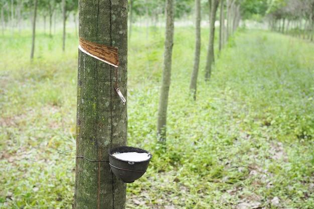 Rubber latex dat uit rubberboom in thailand wordt gehaald