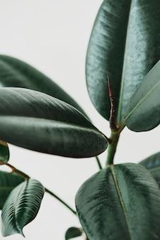 Rubber plant bladeren op grijze achtergrond