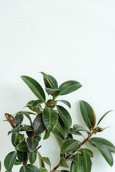 Rubber vijgen grote gladde donkergroene bladeren op een witte achtergrond