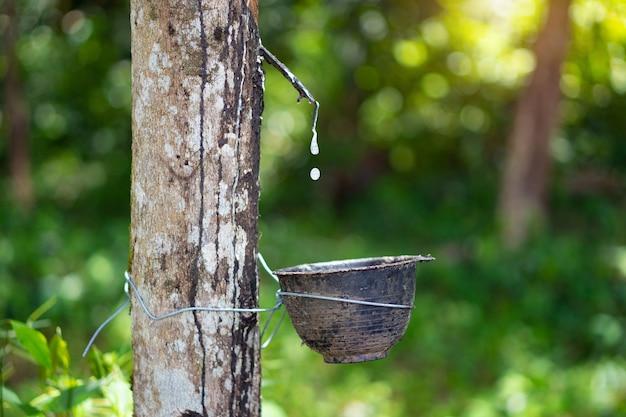 Rubberbomen die zijn afgetapt om het rubber in de rubberplantage te verwijderen.