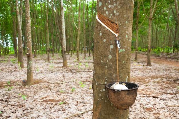 Rubberboom en kom gevuld met latex. natuurlijke latex druipend van een rubberboom op een rubberboomplantage