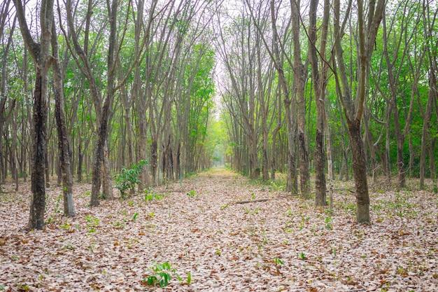 Rubberboom (hevea brasiliensis) produceert latex. met mes gesneden aan de buitenkant van de stam.