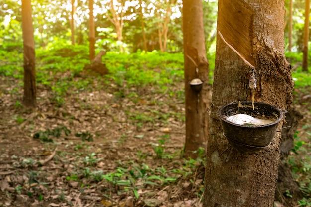 Rubberboom plantage. het rubber tikken in rubberboomtuin in thailand. natuurlijke latex gewonnen uit para-rubberfabriek. latex verzamelen in plastic beker. latex grondstof.