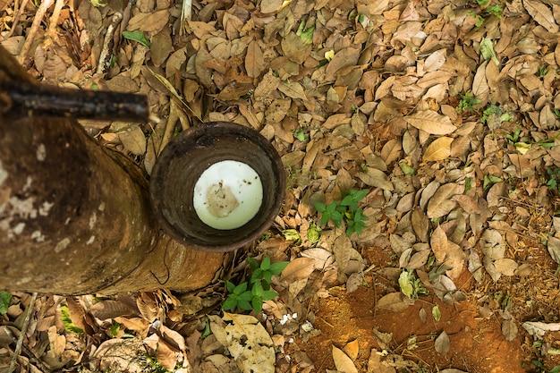 Rubberboom, rubberplantage. mooie bomenlijn door rubberboom