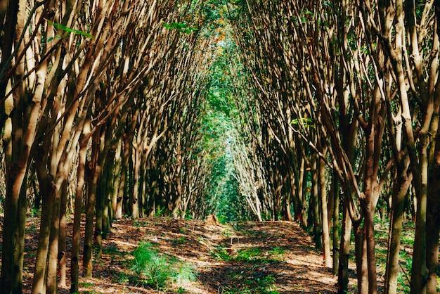 Rubberboombos zo mooi landschap, rubberboomaanplanting