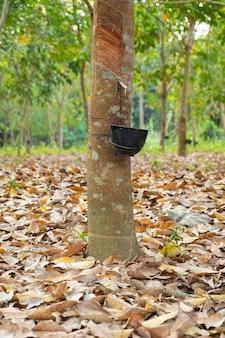 Rubberboomtuin in azië. natuurlijke latex gewonnen uit para-rubberplant. de zwarte plastic beker wordt gebruikt om de latex van de boom te meten.