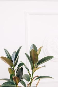 Rubberplant. huisplant op een wit. modieuze huisplant. tropische huisplant.