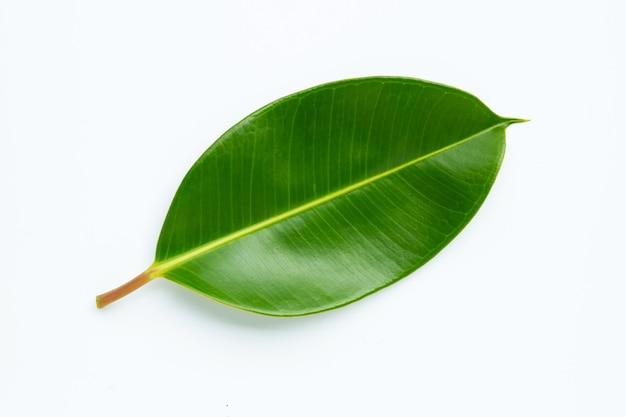 Rubberplantblad op wit.