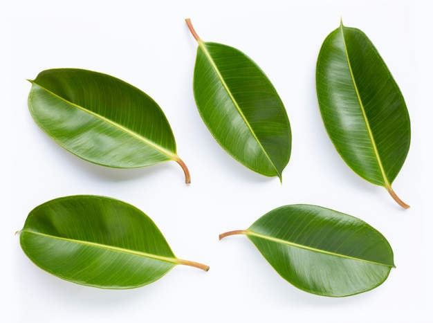 Rubberplantbladeren op witte achtergrond.