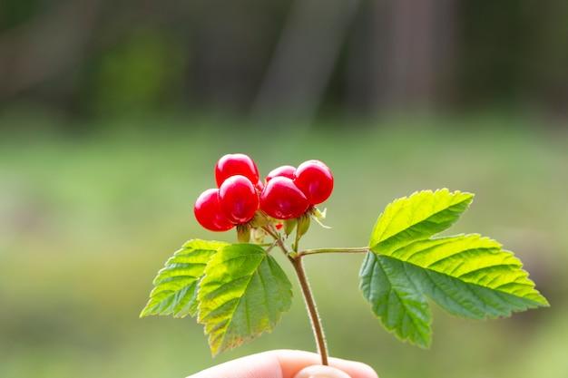 Rubus saxatilis of steenbraam in de hand.
