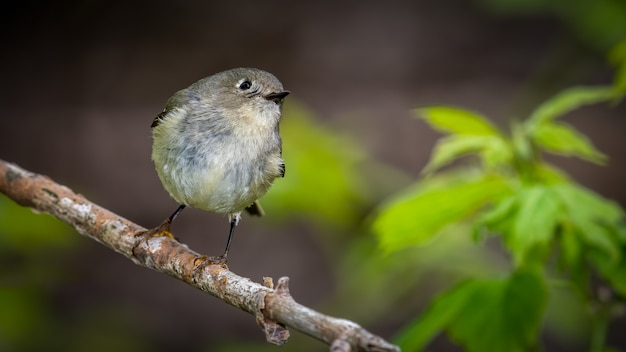 Ruby crowned kinglet op tak