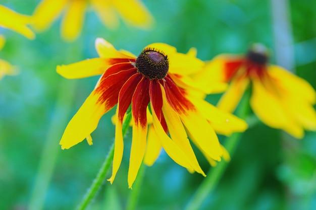 Rudbeckia-bloem met zwarte ogen