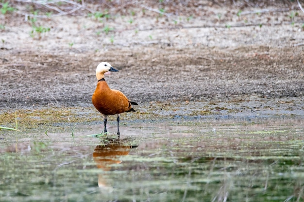 Ruddy bergeenden of tadorna ferruginea blijft in een meer