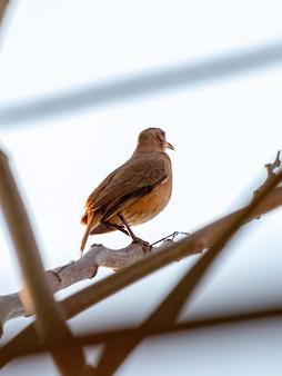 Rufous hornero vogel van de soort furnarius rufus