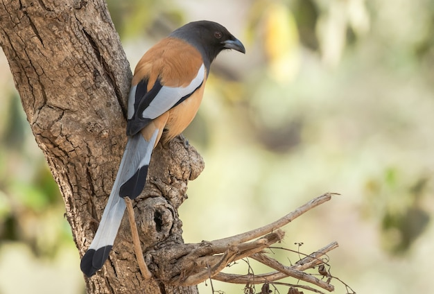 Rufous treepie vogel zat op een boom in ranthambhore national park, india
