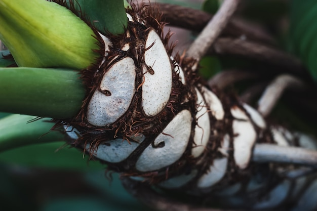 Ruige schors van tropische boom met witte cellen die lijken op een gesneden kokosnoot