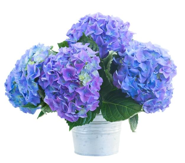 Ruikertje van blauwe hortensiabloemen in metaalpot die op witte achtergrond wordt geïsoleerd