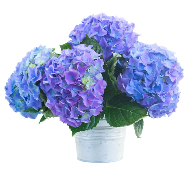 Ruikertje van blauwe hortensiabloemen in metaalpot die op witte ruimte wordt geïsoleerd
