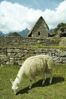 Ruïnes en lama's in de verloren inca-stad machu-picchu, peru
