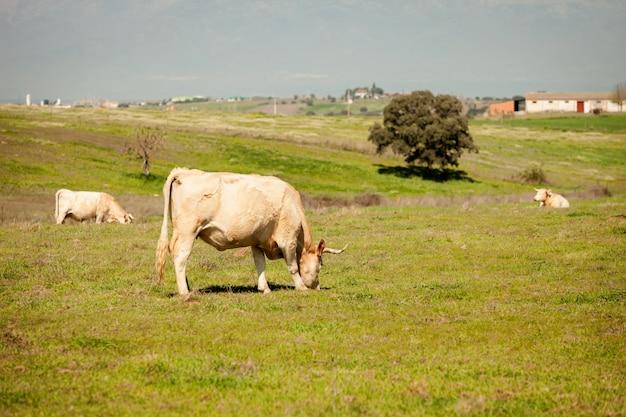 Rundvlees koeien grazen in de weilanden