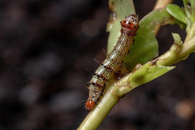 Rups van de orde lepidoptera die een gewone posteleinplant eet van de soort portulaca oleracea