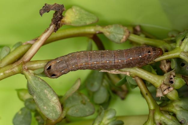 Rups van de soort spodoptera cosmioides die de posteleinplant eet van de soort portulaca oleracea