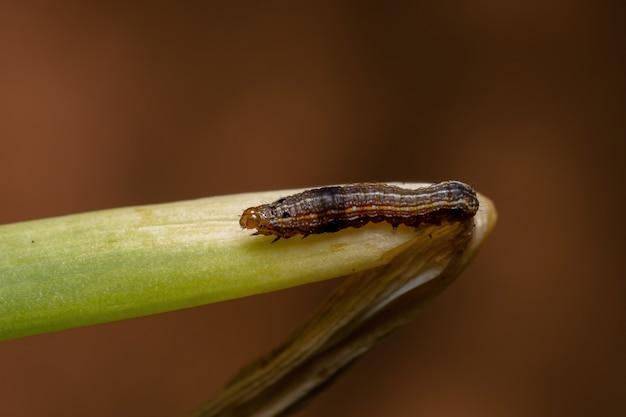 Rups van het geslacht spodoptera die een bieslookblad eet van de soort allium schoenoprasum