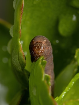 Rups van het geslacht spodoptera eet de bloem van de plant flaming katy van de soort kalanchoe blossfeldiana