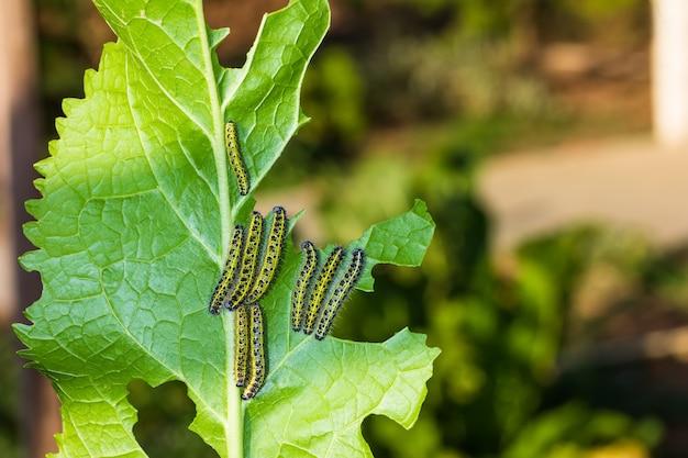 Rupsen pieris brassicae eten een groen mierikswortelblad