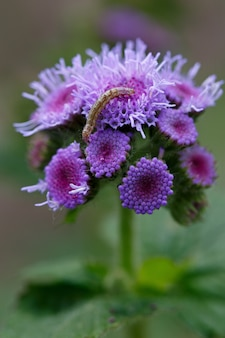 Rupsplaag op ageratum-bloem in de zomertuin