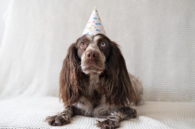 Russische spaniel chocolade merle verschillende kleuren ogen grappige hond met feestmuts op de bank. fijne verjaardag.