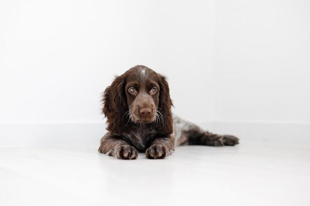 Russische spaniel puppy geïsoleerd op witte houten vloer.