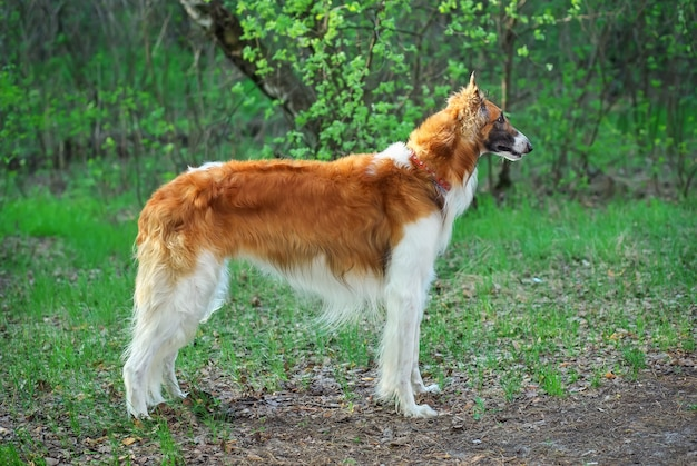 Russische wolfshondhond, borzoi-wandeling
