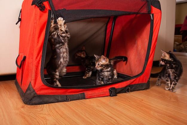 Rusteloze bengaalse kittens van de bruine luipaardtijger spelen met een rood huis