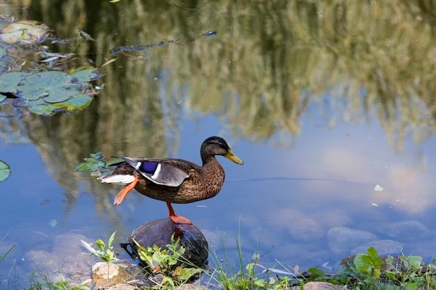 Rustend op de steen aan de oever van het meer, een eend woerd met een vleugel ondersteboven gekeerd en één voet opheffen, close-up