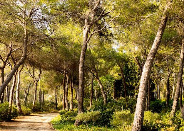 Rustig pad door een dennenbos in spanje bij zonsondergang