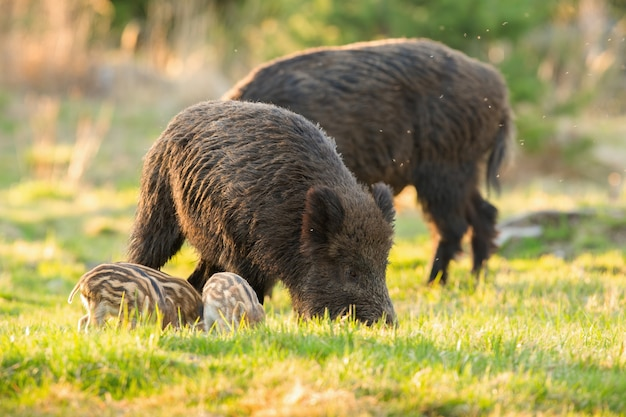 Rustige kudde wilde zwijnen, sus scrofa, met biggen die zich in de lente op de weide voeden.