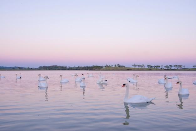 Rustige scènegroep zwanen die in ochtendmeer in aardmeer zwemmen. zwanenachtergrond met bezinningszwanen zijn perzik en liefdesymbool