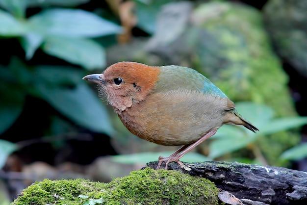 Rusty naped pitta pitta oatesi prachtige vogels van thailand