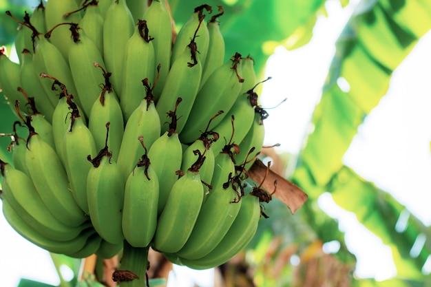 Ruwe banaan bij hemel.