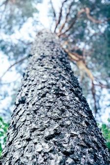 Ruwe getextureerde dennenboomstam en een deel van de kroon, onderaanzicht, wazige achtergrondafbeelding. verticaal