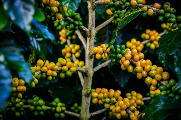 Ruwe koffiebonen en bladeren in het regenseizoen bij landbouwgebied chiang rai thailand