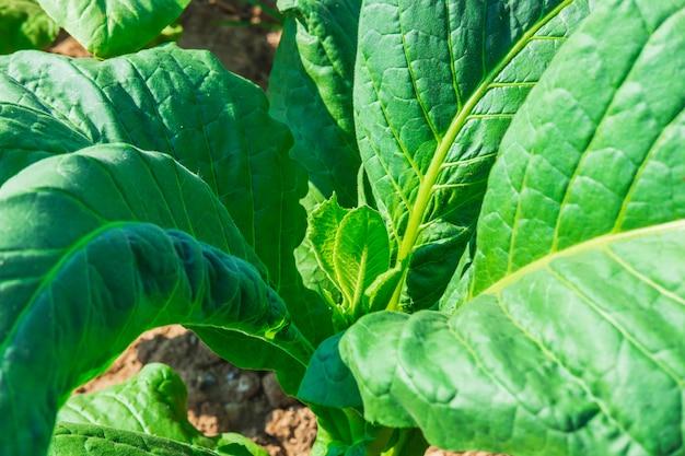 Ruwe tabaksbladeren in tabaksboerderijen