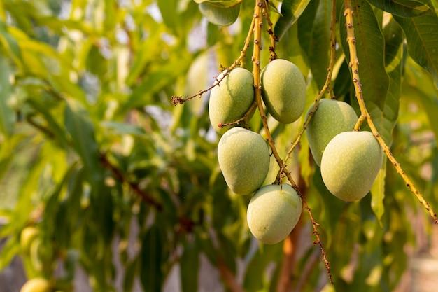Ruwe wilde groene mango's die op tak, close-up hangen