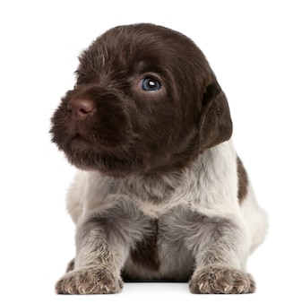 Ruwharige wijzende griffon-puppy, 1 maand oud
